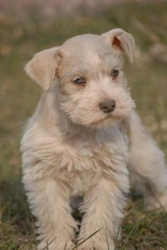 Teacup Schnauzer Puppies River City Schnauzers Toy and