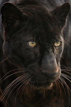 earthandanimals: Black Leopard Photo by Josef Gelernter