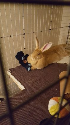 Babs the flemish giant just kicking it
