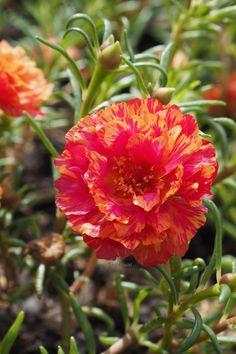 99 pcs MOSS ROSE FRESH SEEDS Perennial Flower mixed multi COLOR bloom UK