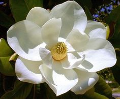 Magnolia flower-my ULTIMATE fave flower and it smells just beautiful! Def reminds me of home-wish they would grow in Denver Flowers Nature, Exotic Flowers, My Flower, White Flowers, Flower Art, Flower Power, Beautiful Flowers, Flor Magnolia, Magnolia Trees
