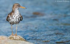 Spotted Sandpiper (Actitis macularius) photographed by Kinan Echtay in Alberta, Canada