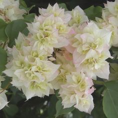 Bougainvillea 'Double White' (Bougainvillea hybrid) - Web Exclusives - Exclusives