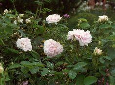rosa cuisse de nymphe - Google Search