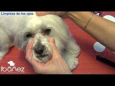 La limpieza de los ojos de los perros - YouTube