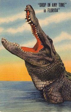 vintage florida alligators - Bing Images