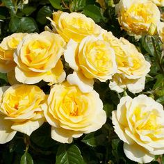 Sunshine Daydream will brighten your spirits and your garden with its lovely light yellow flowers.