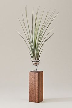 EVRGREEN | Luftpflanzen Tischdeko Design auf Nussbaum-Holz | Tillandsien Deko | Tillandsia juncea, http://www.amazon.de/dp/B00VNWUQTO/ref=cm_sw_r_pi_awdl_xs_dD3mybCW2H66Z