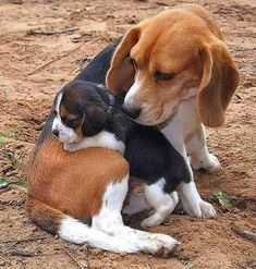 beagles puppy and mom ##beagle