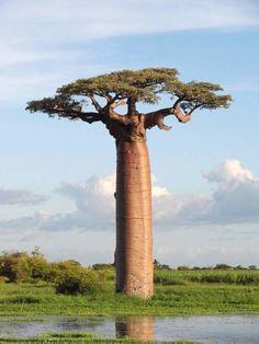 a giant baobab in Madagascar, wow