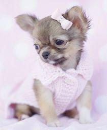 Toy Applehead Chihuahua | sale chihuahua puppies for sale in south florida chihuahua puppies for ...