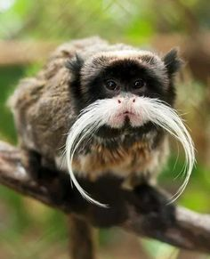 The Mustachioed Monkey  A Black Chinned Emperor Tamarin regards the photographer. https://www.flickr.com/photos/kevin_barrett/6166858723