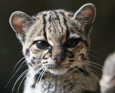 Margay as a Baby | Margay (Leopardus wiedii) | Our Wild World