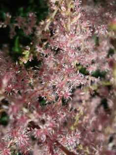 Close up of Astilbe flower, so pretty.