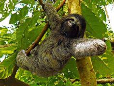 A Sloth in #Panama - ein #Faultier in Panama  Unterordnung der zahnarmen #Säugetiere. Die sechs rezenten Arten teilen sich in die Zwei- und Dreifinger-Faultiere auf. Das Faultier ist ein Müßiggänger und lebt in den Baumkronen der tropischen Regenwälder.Dieses Faultier fühlt sich in den #ForestFinance #Wäldern sichtlich wohl.