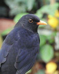 Een tuin vol - Vogels - Merel