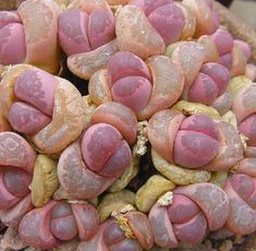 Strange plants on Earth - Lithops have evolved to resemble rocks, yet appear in bright colours. Plants that don't appear conventional seem more other-wordly than anything with leaves. (Article: 12 bizarre real-life plants that look like sci-fi alien monsters, Hoovler, 08/11)