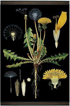 Dandelion Researching for my Voynich Manuscript novel. Illustration Botanique, Illustration Blume, Vintage Botanical Prints, Botanical Drawings, Botanical Flowers, Botanical Art, Herb Art, Floral Illustrations, Horticulture