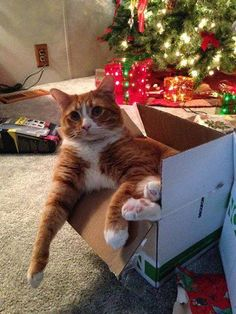 Best Cats For People With Cat Allergies Beautiful Cats, Animals Beautiful, Cute Animals, Christmas Animals, Christmas Cats, Christmas Boxes, Crazy Cat Lady, Crazy Cats, I Love Cats