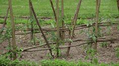 tuteurs à tomates avec de simples branchages (tuto pas-à-pas)
