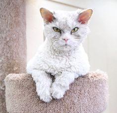 Albert the crabby sheep cat