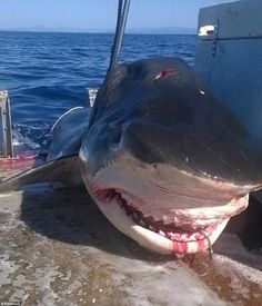 Mystery surrounds massive tiger shark caught off Australia Scary Animals, Animals And Pets, Orcas, Shark Pictures, Environmental News, Fish Tales, Rare Species, Great White Shark, Best Fishing