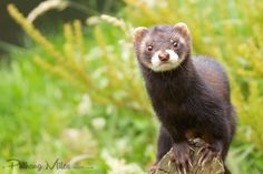 Velvet the Polecat recently gave birth to 7 kittens. We had hoped to see them today but mum was too hungry and kept eating all the food rather than taking it to her babies. European Polecat, Black Footed Ferret, Ferrets, Otters, Animal Kingdom, Cubs, Mammals, Birth, Fox