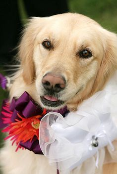 Dogs in weddings  Dog ring bearer  dog flower girl  dog walks down aisle at in wedding ceremony  Golden retriever in wedding  dog flower collar with ring bearer pillow