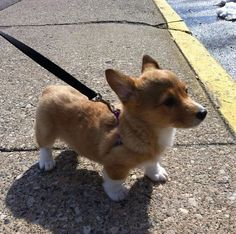 Kinda started becoming obsessed with corgis lately...they are cute!!! Short squatty little legs haha