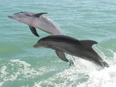 Take a dolphin cruise and explore the several beautiful islands of Lee County, including Sanibel, Gasparilla and Captiva. Best Beach In Florida, Florida Beaches, Florida Travel, Florida Dolphins, Beach Tops, Beach Fun, Beautiful Islands, Beautiful Beaches, Captiva Island