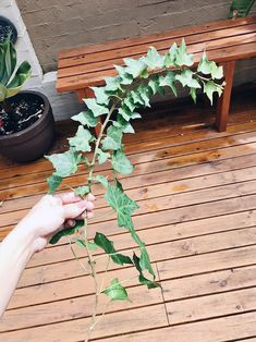 A quick guide on two ways to grow Ivy from a cutting! Table Flower Arrangements, Table Flowers, Cut Flowers, Ivy Plants, Garden Plants, Indoor Plants, House Plants Decor, Plant Decor, English Ivy Indoor