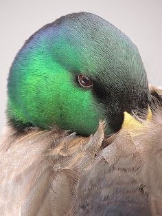 Mallard duck by Vernon Hyde Waterfowl Hunting, Duck Hunting, Swans, Duck And Ducklings, Aquatic Birds, Duck Decoys, Mundo Animal, Mallard, Sea Birds