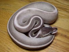10 Beautiful Ball Python (Python Regius) Morphs - Reptile World Facts Pretty Snakes, Cool Snakes, Colorful Snakes, Beautiful Snakes, Serpent Animal, Python Snake, Python Royal, Python Regius, Pets