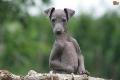 owning-an-italian-greyhound-53b695e905416.jpg (1280×853)