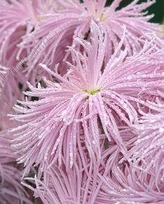 "Chrysanthemum ""Rayonnant Pink"" of the Nikitsky Botanical Gardens (Ukraine) My Flower, Flower Power, Pink Flowers, Beautiful Flowers, Japanese Chrysanthemum, Exotic Plants, Zinnias, Hydrangeas, Dream Garden"
