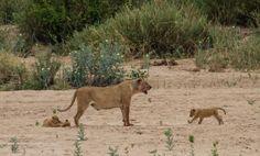 Female and baby lion in Kruger. #femalelion #babylion #lioness #lionsofthekruger