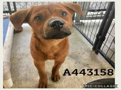 7/25/17 - 14 WEEK PUPP(FEMALE, BLACK/BROWN CHOW CHOW BLEND.  WHAT A SWEETHEART!  WILL BE KILLED SOON - SAN ANTONIO ANIMAL SHELTER - EMAIL acsadoptions@sanantonio.gov IF INTERESTED!-PLEASE HURRY!