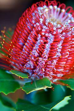 Banksia Coccinea by Renee Hubbard Fine Art Photography