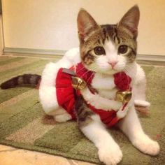 Adorable animals that got into the Christmas spirit - 27 Pics Christmas Kitten, Christmas Animals, Christmas Time, Xmas, Christmas Ideas, Merry Christmas, Pet Costumes, Cat Facts, Crazy Cats
