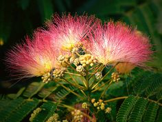 """Albizia: the Tree of Happiness. """"The flowers and bark of the mimosa tree (Albizia julibrissin) are among the most valued of Chinese botanicals for relieving anxiety, stress and depression""""."""