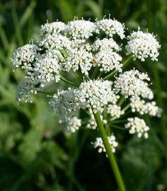 NINIVEWEBSITE: Dna podagra nemoc králů a bylinky