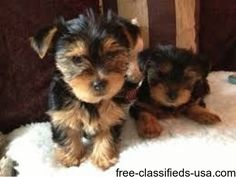 Animals - Teacup Yorkie Two Male And Female playful and current on all shots.They are home raised puppies,all teacup Yorkie and ar. Yorkie Puppies For Adoption, Yorkie Puppy For Sale, Yorkie Dogs, Puppies For Sale, Pet Dogs, Chihuahua, Morkie Puppies, Pets, Pomeranian Puppy