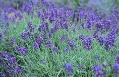 lovely lady lavender