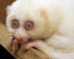 Albiino -Lori <3 <3 <3                                                 Male albino Slow Loris