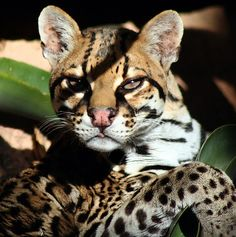 """The ocelot, also known as the dwarf leopard is similar in appearance to a domestic cat. Its fur resembles that of a clouded leopard or jaguar and was once regarded as particularly valuable. As a result, hundreds of thousands of ocelots were once killed for their fur. The feline was classified a """"vulnerable"""" endangered species in 1972"""