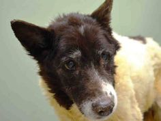 SUPER URGENT 1/18/15 NYC ACC- Manhattan Center  ABBY - A1025739 FEMALE, WHITE / BROWN, BORDER COLLIE MIX, 10 yrs  https://www.facebook.com/Urgentdeathrowdogs/photos/a.617942388218644.1073741870.152876678058553/946228032056743/?type=3&theater
