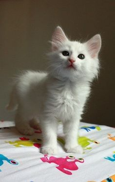 Turkish Angora kitten-just like Sophie but she was grey