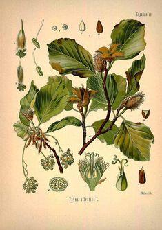 13133 Fagus sylvatica L. / Köhler, F.E., Medizinal Pflanzen, vol. 1: t. 33 (1887) [W. Müller]