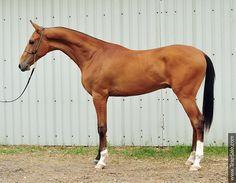 Akhal-teke horses for sale - Dashgyn(Dylym - Gumsara 9)