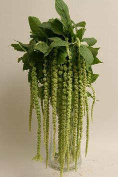 """Green amaranthus - good to put on chuppah or structures where i want the flower to """"drip"""" down"""